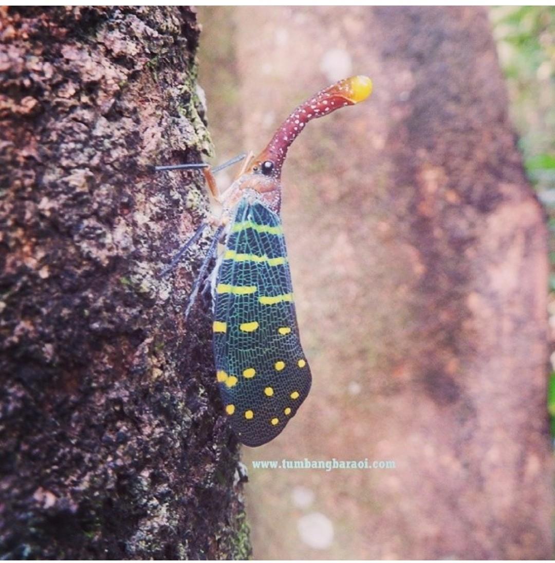 Serangga lentera Kalimantan