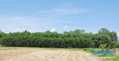Sơn Tịnh Người dân ồ ạt trồng keo trên đất lúa