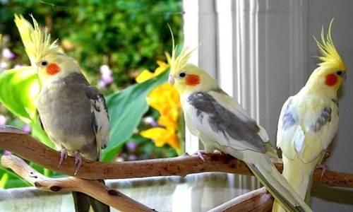 Daftar Harga Burung Parkit Lengkap Terbaru 2018 Dipasaran