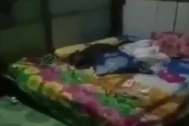 Gempar! Babi Pakai Masker Ditemukan Warga Asyik Tidur di Kamar