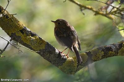 Pit-roig (Erithacus rubecula)