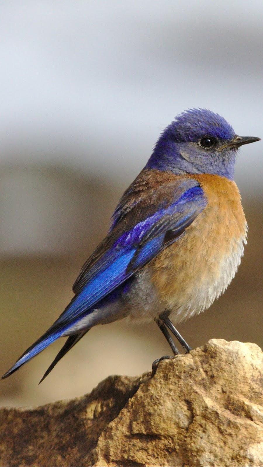 A cute western bluebird.