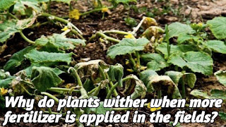 Why do plants wither when more fertilizer is applied in the fields?