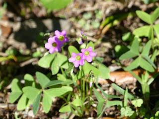 Oxalis latifolia - Oxalis à feuilles larges