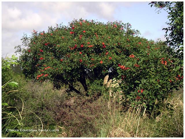 Ceibo florecido -Chacra Educativa Santa Lucía