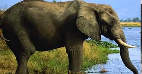 51 Gambar Hewan Gajah Dan Keterangannya HD Terbaik
