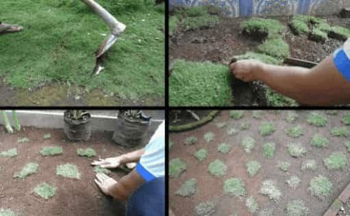 Cara Menanam Rumput Jepang Agar Cepat Tumbuh Subur