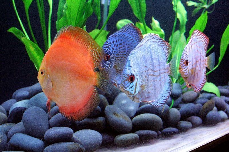 Jenis Ikan Hias dan Harganya - Iakn Discus