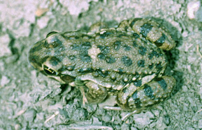 Leptodactylus bufonius