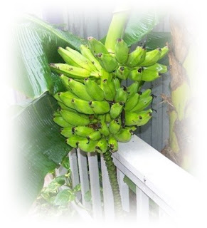 homegrown bananas
