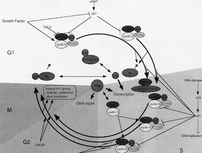 cell cycle and machinery
