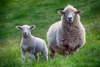 poslovicy-pogovorki-ob-ovce