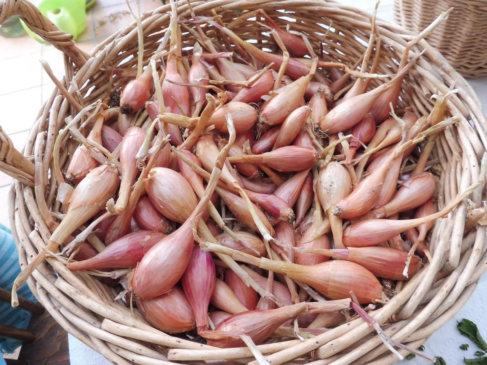 Repiquer Plants Oignons Blancs mon jardin entre terre et mer: miam! des bulbes!