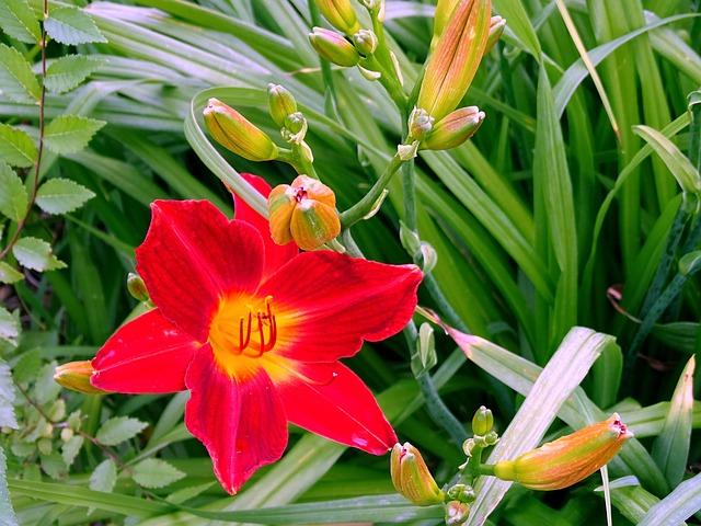Hoa ly đỏ đẹp nhất thế giới