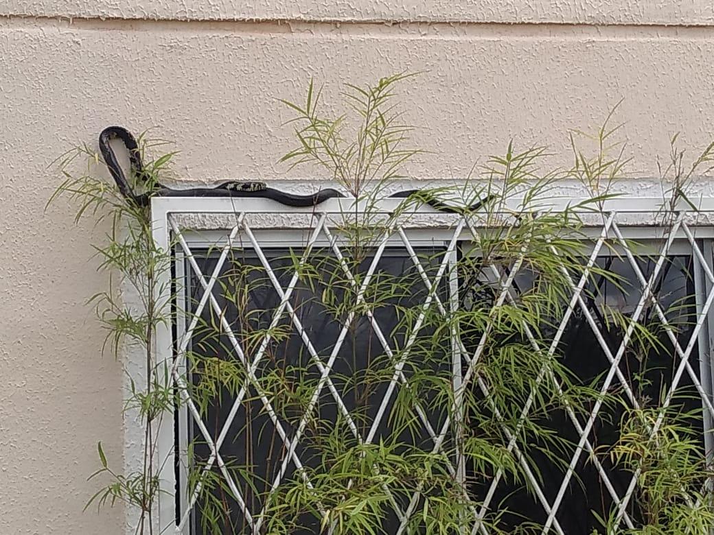 3d74d3a8 6726 4d4a 99b1 6894210b22f5 - Cobra assusta morador do Jardins Mangueiral em  janela de apartamento