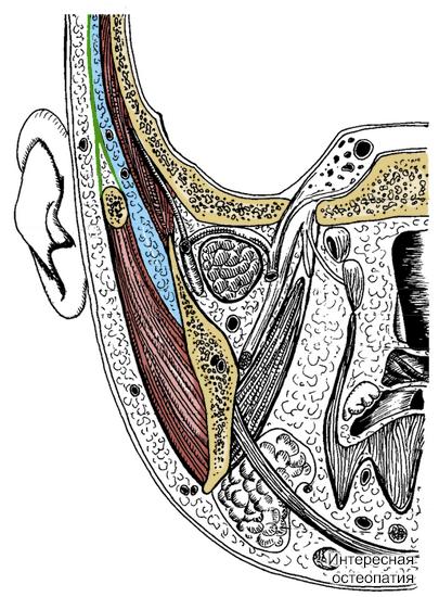 височная мышца. Латеральнее от неё голубого цвета отмечен рыхлой подапоневротической клетчатки. Кнаружи зеленым цветом отмечена височная фасция, покрывающая клетчатку и мышцу. Виден переход подапоневротической клетчатки под скуловую кость и ниже в жевательно-челюстная клетчаточную щель.