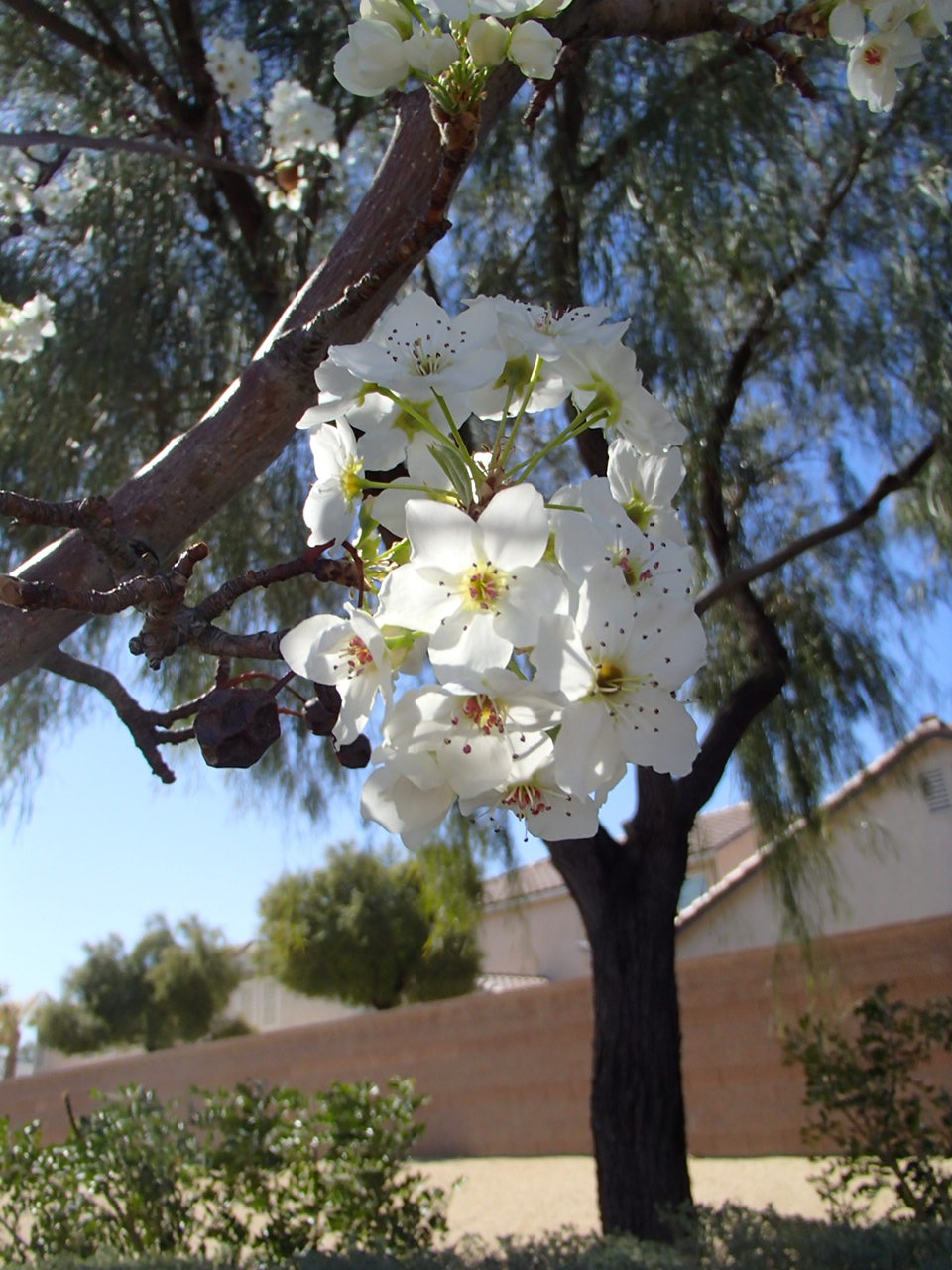 Xtremehorticulture of the desert pink and white spring flowering ornamental pear flowers mightylinksfo