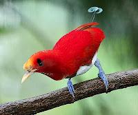 Si Raja Burung Cenderawasih dari Papua
