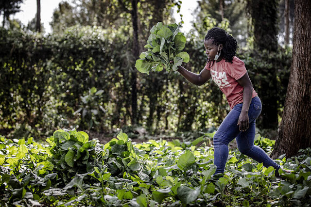 Naomi Ruhara, from the FAO-trained youth group, Blessed Achievers, harvests vegetables at a farm in Kiambu in Kenya.