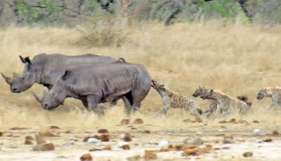 Badak dimakan kawanan hyena