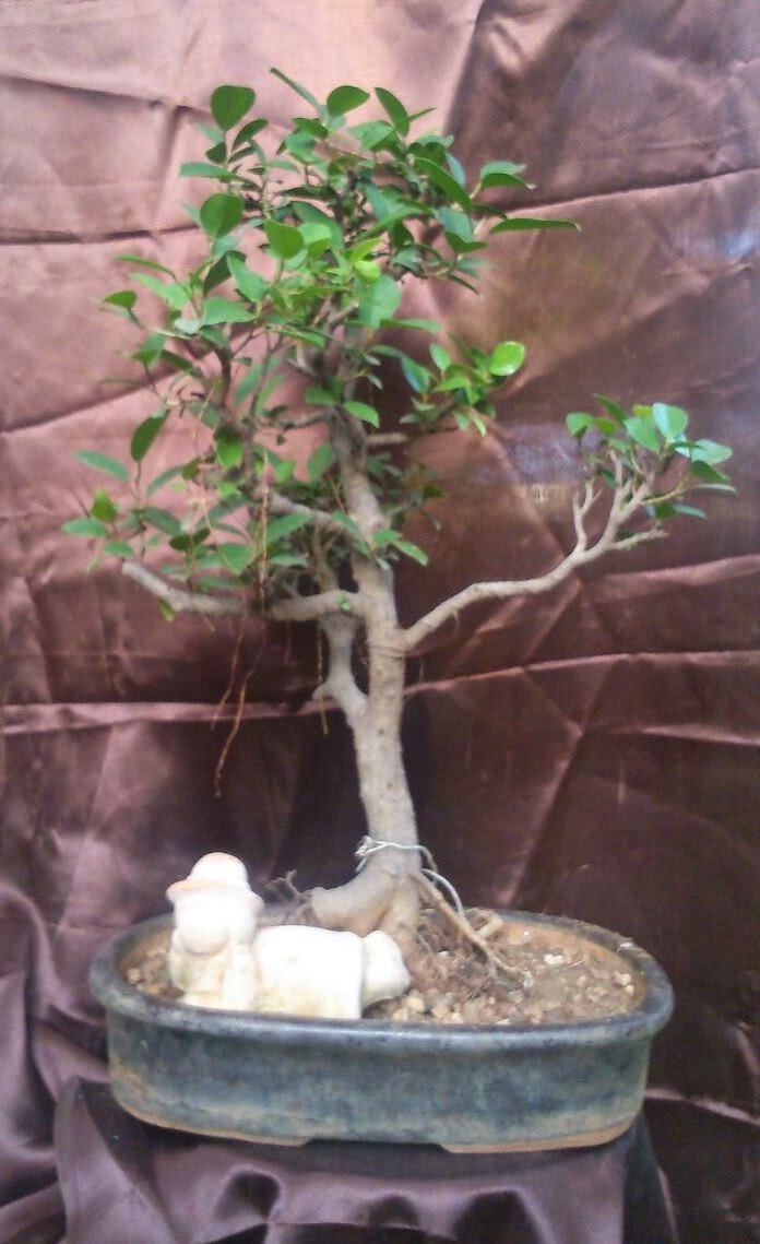 ficus panda bonsai tree