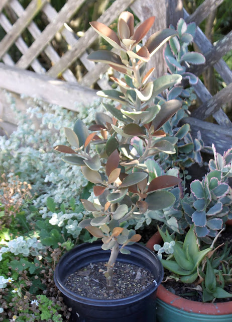 """Kalanchoe """"Copper Spoons"""" in 5 gal pot"""