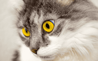 Gato ojos