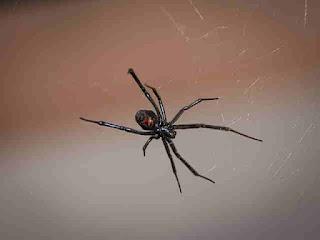 Laba-Laba Black Widow : Si Janda Paling Beracun Dan Pemangsa Pejantan