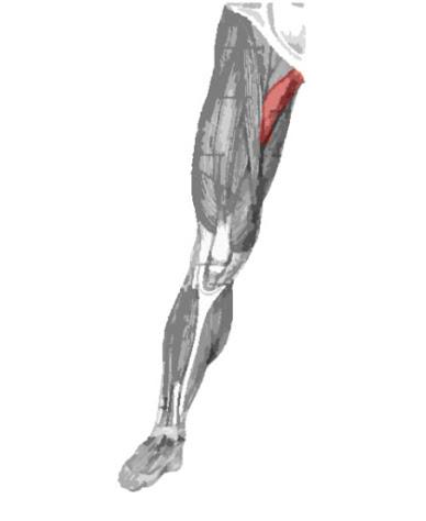 Músculo aductor largo resaltado con color rojo