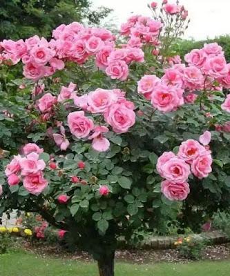 O que fazer quando a roseira não dá flor