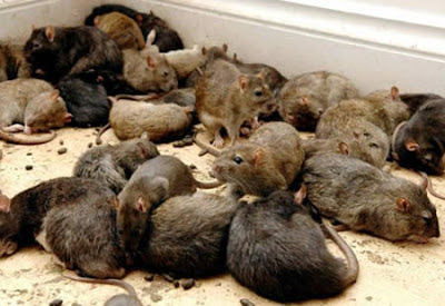 ratas alimentandose