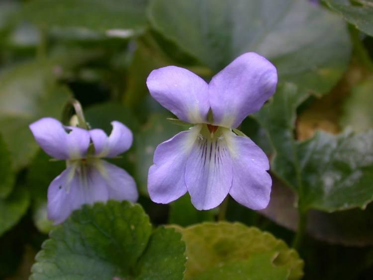 Viola jaubertiana (endemismo de la Sierra de Tramontana, Mallorca)