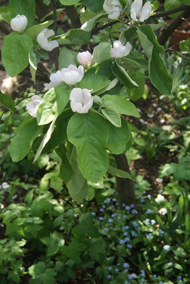 Blühende Apfelquitte unterpflanzt mit Schattenstauden