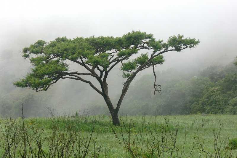 ábol acacia