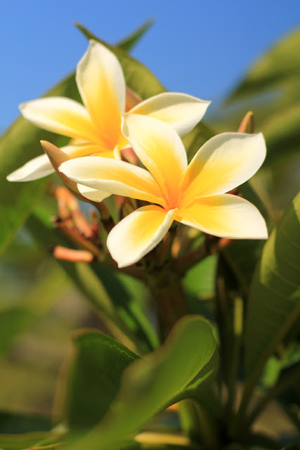 Frangipani - Flower Photography by Mademoiselle Mermaid