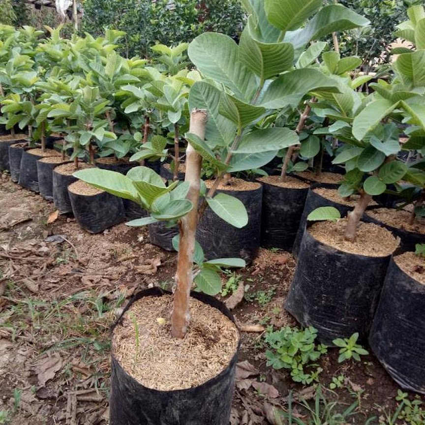 Bibit buah jambu sukun kristal tanpa biji kondisi berbunga Jakarta