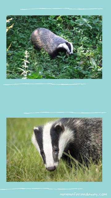 tassi fauna inghilterra