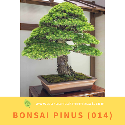 Bonsai Pinus (014)