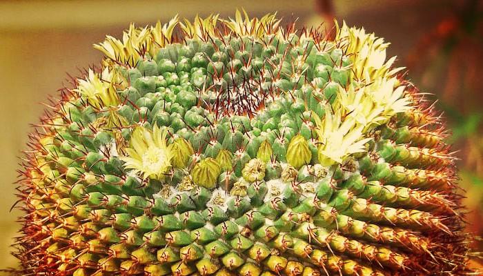 Mammillaria de jardín