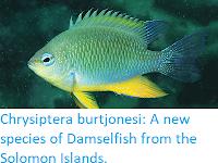 https://sciencythoughts.blogspot.com/2018/02/chrysiptera-burtjonesi-new-species-of.html