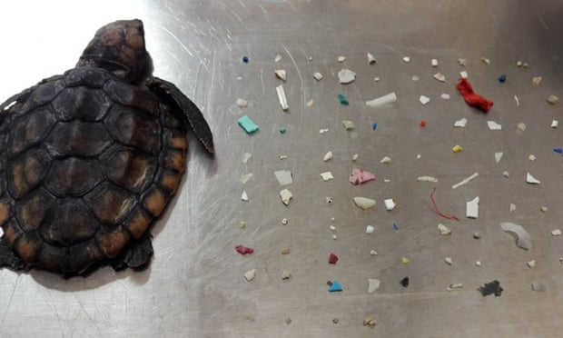 θαλασσια χελωνα καταπιε 104 κομματια πλαστικου
