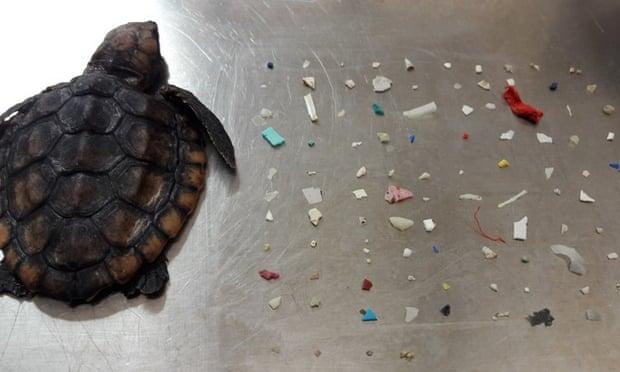 Νεαρή θαλάσσια χελώνα πέθανε αφού κατάπιε 104 κομμάτια πλαστικού