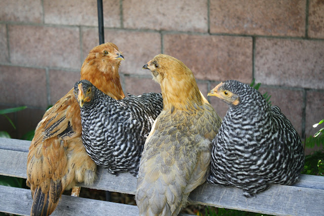 Barred rock and Easter egger chickens