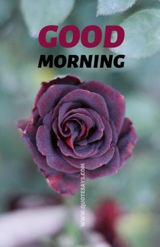 Good morning flower Dark red rose