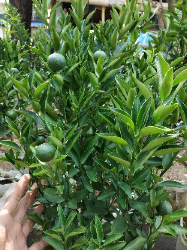 sudah berbuah bibit pohon Tanaman buah jeruk limo sudah berbuah nipis purut bali lemon siam kip keep Yogyakarta