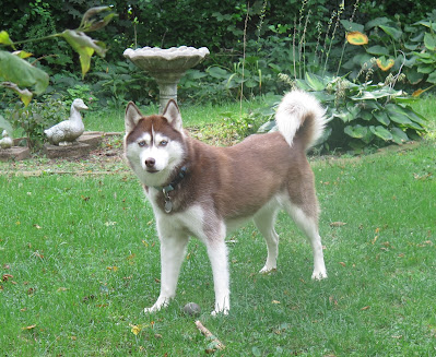 Tick Fever in dogs, Dog ticks, Anaplasmosis, Tick Fever, Dog Fever, Ticks on my dog