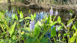 Pontederia cordata (pickerelweed) blue flower swamp louisiana new orleans