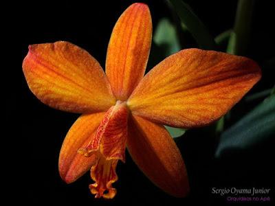 Orquídea Sophrolaelia Marriotiana
