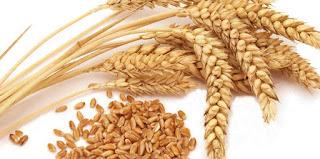 wheat seed 1878367