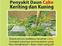 Penyakit Keriting Tanaman Cabe - Penyakit Cabe Keriting Daun - Hama Penyakit Tanaman Cabai